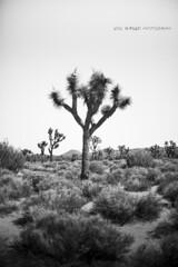 Joshua Tree National Park (BurgersPhotos) Tags: california trees blackandwhite panorama canon landscapes nationalpark joshuatree panoramic 1740mm joshuatreenationalpark llens leefilters 06nd canon5dmkiii