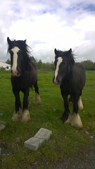 WP_20140510_15_17_59_Pro (adree06) Tags: horses irlande cheveaux