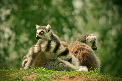 Ring-tailed lemur - Ringstaartmaki -  Lemur catta