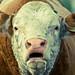 Groaning bull
