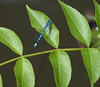 Blue dragonfly on leaf (Laineyb93) Tags: macro reed nature water closeup canal nikon zoom dragonfly burnley greatoutdoors naturalenvironment 200mmlens