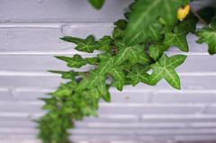 Ivy II (kecotting) Tags: plants brick green climb nikon dof ivy vine d5100