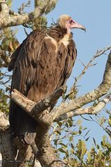 DSC_0535 (Arno Meintjes Wildlife) Tags: africa travel bird nature animals southafrica outdoors wildlife safari birdofprey krugerpark kruger scavanger birds1 arnomeintjes