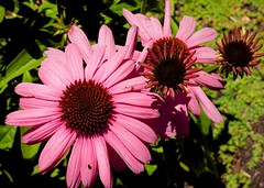 P6206763B Ardenwood 20130620 (caligula1995) Tags: pink daisy ardenwood 2013