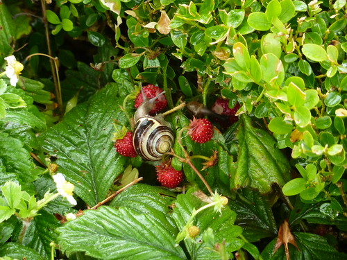 Snail among the royal strawberries