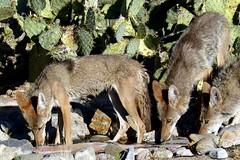 Thirsty trio {Expored} (jimsc) Tags: coyote wild arizona dog animal june fauna yard mammal lumix desert tucson critter ngc canine panasonic predator kitchenwindow sonorandesert canid canislatrans pimacounty fz200 jimsc windowshotyard