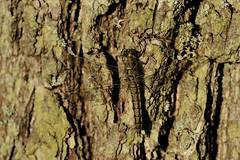 Groer Blaupfeil Weibchen (-Frank S-) Tags: wildlife libelle ostsee plattbauch blaupfeil segellibelle groserblaupfeil wieibchen