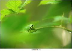 Boomkikker (NH003543) (nandOOnline) Tags: groen dier kikker bramen boomkikker hylaarborea amfibie braamstruik struweel braamstruweel