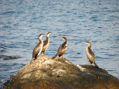 European shags (Kireelyaus) Tags: sea black bird nature european peninsula shag crimea россия крым таврия