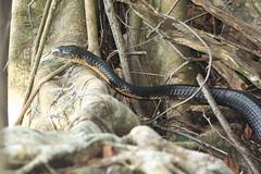 Sulawesi Cobra 05