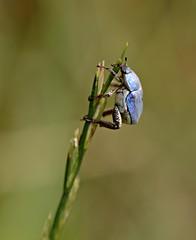 Hoplie bleue (Marie-Line D09) Tags: arthropoda coleoptera ariège insecta mazères hopliebleue hopliacoerulea domainedesoiseaux