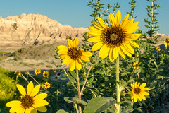 Badlands Sunflowers (Thomas James Caldwell) Tags: park summer flower nature yellow south sd national sunflower badlands wildflower dakota 2014