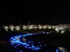 Night Cherry Blossoms and Shooting Stars Festival (izunavi) Tags: flower japan night sakura cherryblossoms shizuoka izu minamiizu shizuokaprefecture minamiizutown nightcherryblossoms inoriboshi izuphoto kawazuzakuracherryblossomsandrapeblossomsfestival nightcherryblossomsandshootingstarsfestival amanogawaproject