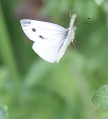 Large white in flight (kaylo88) Tags: white butterfly large cabbagewhite largewhite pieridae brassicae britishbutterfly bigbutterflycount bigbutterflycount2014