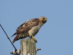 Red-tailed Hawk by SpeedyJR (SpeedyJR) Tags: nature birds wildlife indiana hawks redtailedhawk pierceroad speedyjr stjosephcountyindiana stjosephcountyin ©2014janicerodriguez