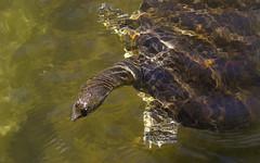 Colorful Soft Shell Turtle (Randy E. Crisp) Tags: macro water birds canon landscape dallas nikon texas turtle wildlife flash 14 100mm irving 16 20 fullframe 13 extender softshell 400mm northtexas fritzpark 550d 1d4 560mm t2i 5d2 5dii 1dmkiv 1dmk4 randyecrispphotography randycrisp randyecrisp
