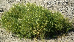 African rue plant