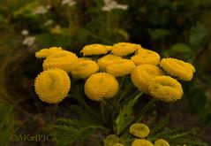 Common Tansy Tanacetum vulgare (timtanner72) Tags: naturephotography hatcherpass commontansy tanacetumvulgare alaskanature chrysanthemumvulgare alaskalandscape alaskahiking nonnativeplantsalaska hatcherpasshiking alaskayellowflowers