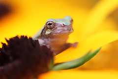 Hold Still 08052014 (Orange Barn) Tags: flowers macro closeup garden petals amphibian frog perennials browneyedsusan