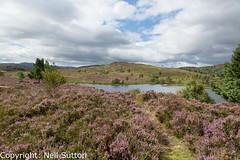 Loch na Ba Ruaidhe, Heather in Flower (Neil Sutton Photography) Tags: geocache heather lochnabaruaidhe lochan scotland scottishhighlands landscape canon paththroughtheflowers purpleheather