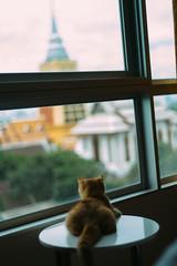 Watching window is fun (norsez) Tags: cute tom cat thailand kitten feline bangkok kitty thai fujifilm meow neko fujinon manualfocus mouser xpro1 xtrans fujifilmx fujifilmxpro1 xtranscmos