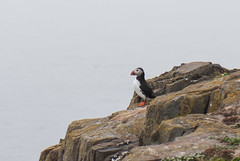 Little Puffin (quinet) Tags: england northumberland puffin macareux fraterculaarctica papageientaucher grandebretagne 2013 grosbritannien innerfarneisland