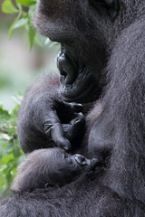 Mother's Touch (Mark Dumont) Tags: baby animals mammal zoo gorilla mark cincinnati western dumont lowland
