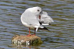 Gull (Kentish Plumber) Tags: uk bird nature kent wildlife gull gio southeast kwt nbw northwestkent bwg sevenoakswildlifereserve kentwildlifetrust birdwatchinggroup