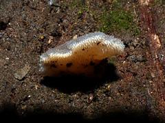Pseudohydnum gelatinosum (VanessaRyan) Tags: nature australia fungi tasmania pseudohydnum mtfieldnationalpark pseudohydnumgelatinosum arfp geo:country=australia trfp arffungi taxonomy:binomial=pseudohydnumgelatinosum brownarffungi greyarffungi mixedarf geo:lat=42681859 geo:long=146716221 jellyarffungi basidiomycetesarffungi familyincertaesedis