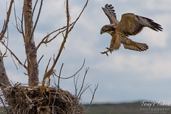 Swainson's Hawk landing sequence (3 of 3)