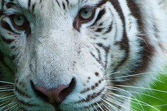 Majestic (pixip53) Tags: cat eyes stripes tiger bigcat whitetiger paradisewildlifepark