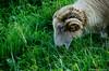 201408-Scharfe-7107 (jerdlingshof) Tags: green sheeps wz scharfe erdlingshof