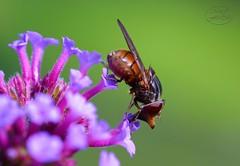 Rhingia campestris - Schnauzenschwebfliege (MaiGoede) Tags: macro animals fauna tiere nikon insects makro insekten d800 syrphidae diptera insecta rhingiacampestris zweiflügler schwebfliegen schnauzenschwebfliege nikond800