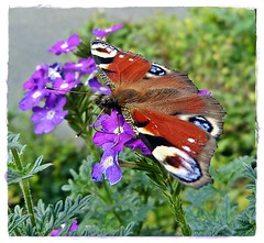 Schmetterling (Ulla51) Tags: nature animals butterfly tiere balkon natur schmetterling ulla51