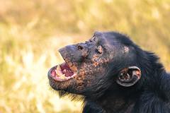 The Alpha, Ol Pejeta (Poulomee Basu) Tags: africa wild holiday male topf25 beauty animal power kenya dramatic conservation 100v10f safari savannah chimpanzee wilderness alpha habitat primate biodiversity violent dominant sweetwaters alphamale riftvalley africansafari animalportrait aggresive d90 omnivore nikond90 olpejeta nikond90club chimpanzeesantuary chimpconservation