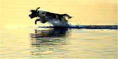 Ted at sunset_1 (beninfreo) Tags: sunset dog river jump swan spaniel springer springerspaniel westernaustralia swanriver refelection attadale