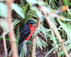 20140902_0018_Entebbe_Gonolek a ventre rouge (fstoger) Tags: africa wildlife safari uganda afrique ouganda viesauvage