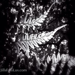 Playing with Light (jillsfotoluv) Tags: light plants nature leaves outdoors leaf woods gardening ferns shape