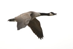 Canada Close In. (stonefaction) Tags: canada nature birds scotland geese dundee angus wildlife goose