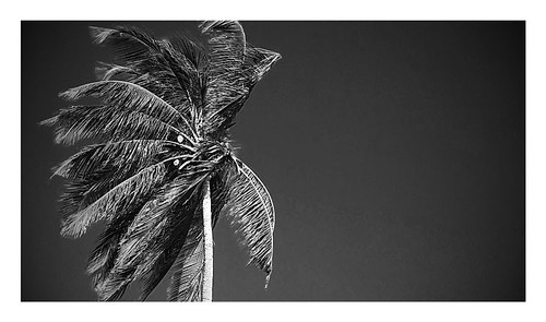 #Dhivehi #Rukeh #Coconut #tree