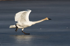 2736 (Eric Wengert Photography) Tags: trumpeterswan bird
