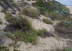Pelargonium capitatum and Ammophila arenaria ssp arenaria, Mindalong Beach, Bunbury, WA, 30/10/16 (Russell Cumming) Tags: plant weed pelargonium pelargoniumcapitatum geraniaceae ammophila ammophilaarenaria ammophilaarenariaarenaria poaceae mindalongbeach bunbury westernaustralia