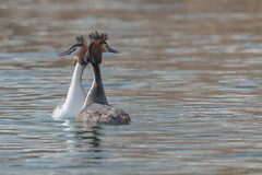 The dance begins (Andrew_Leggett) Tags: greatcrestedgrebe podicepscristatus courtship courting dance water birds grebe spring