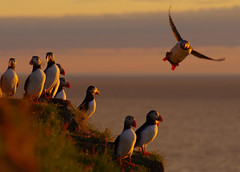 Puffins basking in the midnight sun at 70 deg north. (Snemann) Tags: puffins seabirds norway troms animals birds pentaxk5 smcpf70210mmf456ed coast light colours outdoors endangeredspecies nature fugl lundefugl fraterculaarctica