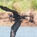 Magnificent Frigatebird [12/100]