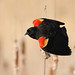 Red-winged Blackbird (Jonathan Eckerson) Tags: