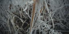 frozen nature 7705 (s.alt) Tags: nature natureunveiled frost winter ice rauhreif cold kalt morgen eiskristall kristallförmig vereist niederschlag hoarfrost whitefrost rime frostyrime frozen detail icecrystal frozennature macro blatt frosted