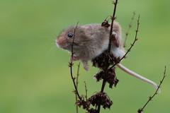 Harvest Mouse (Tim Melling) Tags: microtus minutus harvest mouse timmelling