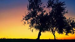 Ulivi di Campagna - Cerignola, Puglia, Italia (devitomarina) Tags: smartphone samsung samsunggalaxys4 galaxys4 cerignola cerignolacampagna puglia apulia italia italy europa europe meridione meridionale sud suditalia south southern southernitaly pugliese albero tree ulivo olive agricoltura agriculture natura nature campagna country countryside erba grass foglie leaves rami branches mediterraneo mediterranean tramonto sunset sole sun colori colors colorful cielo sky wild weather silhouettes orizzonte horizon amazing stunning panorama landscape paesaggio view mothernature amateur