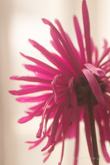 Le Temps Passe...Toujours (Sous l'Oeil de Sylvie) Tags: fleur flower macro macrophotographie backshot prisededos sousloeildesylvie pentax ks2 fané pdc dof profondeurdechamps mars 2017 rose pink
